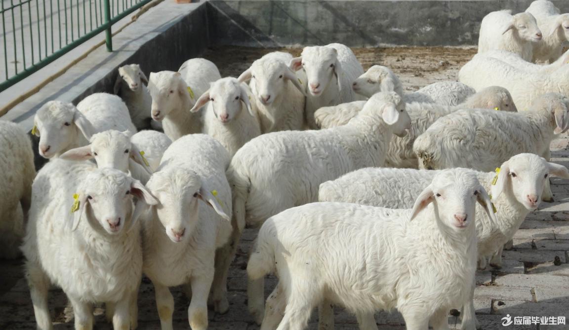农村养殖业_农村养羊创业计划书_青年创业网