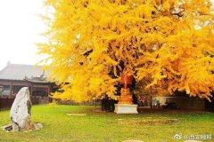 千年银杏树成网红 每天限制参观人数