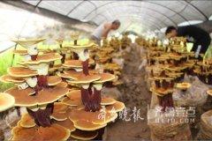 90后学生在青岛澳门博彩娱乐平台种灵芝 打造灵芝盆景基地