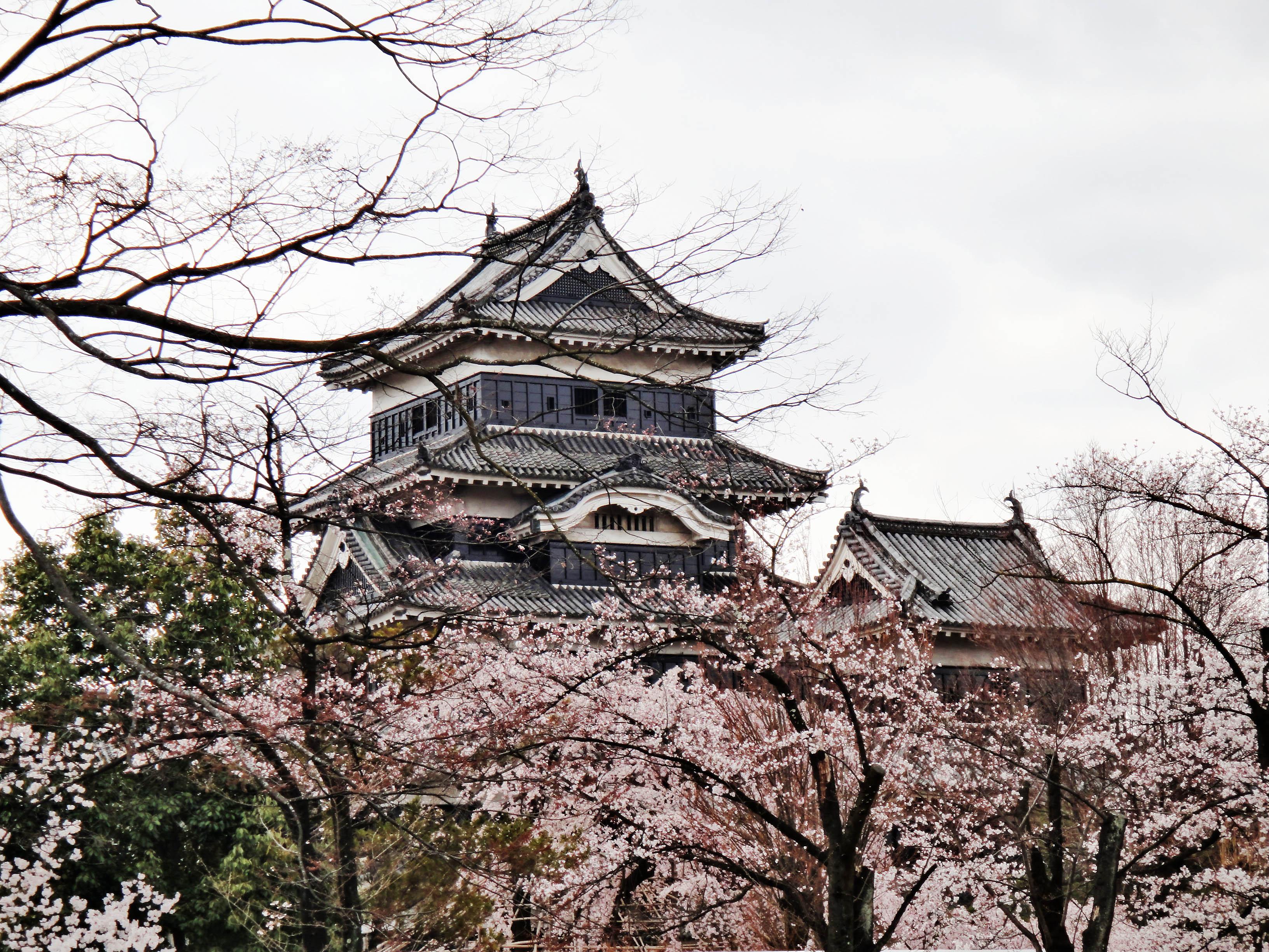 日本松本城樱花绽放。(蓝海/大纪元)
